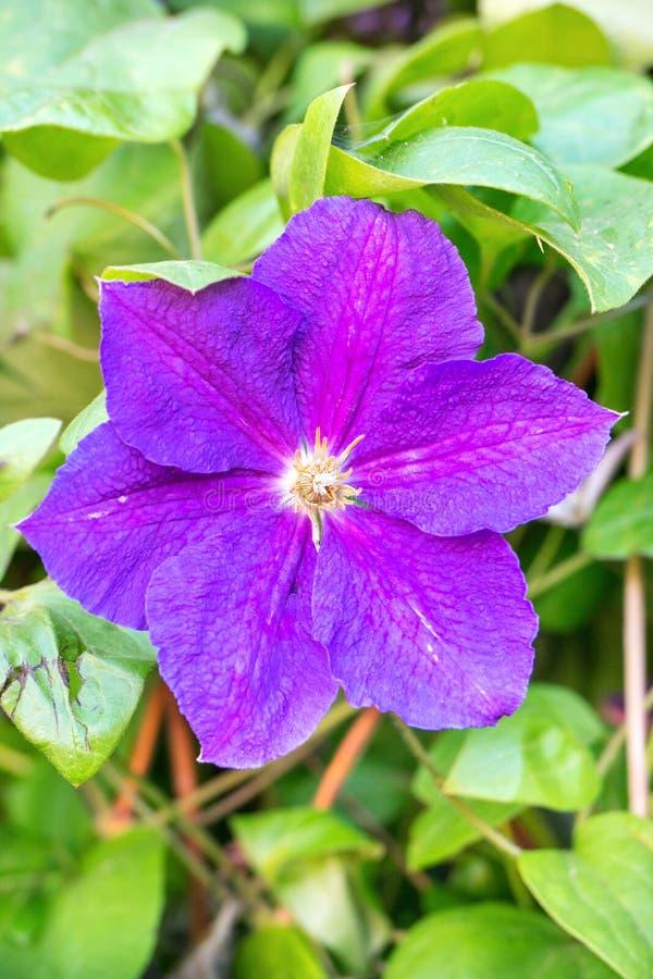 Flower clematis closeup stock image