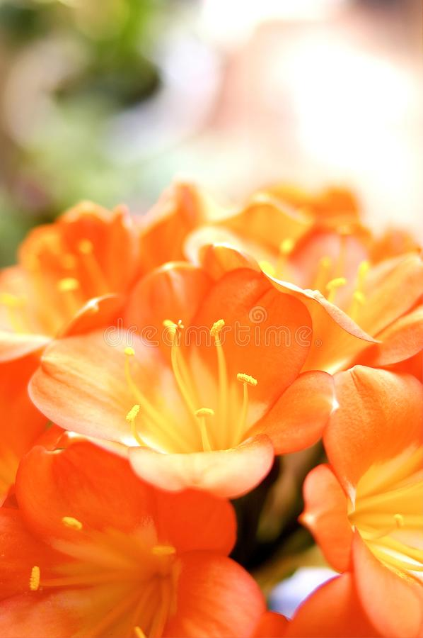 Clivia stock photo