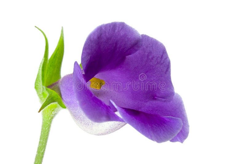 Flower close-up, Gloxinia royalty free stock images