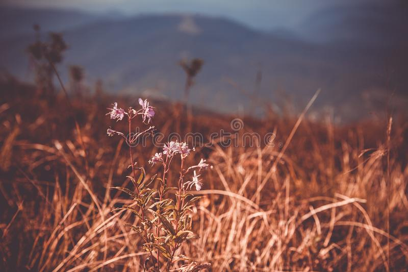 Flower close-up. Mountains and clouds in the background. Moody rustic background. Summer in the mountains. royalty free stock images