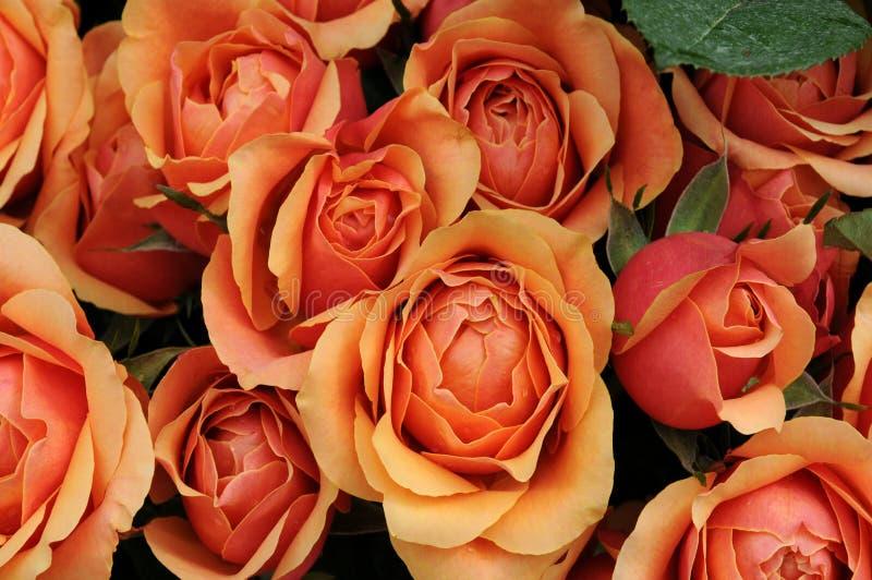 Flower, close up of rose stock photos