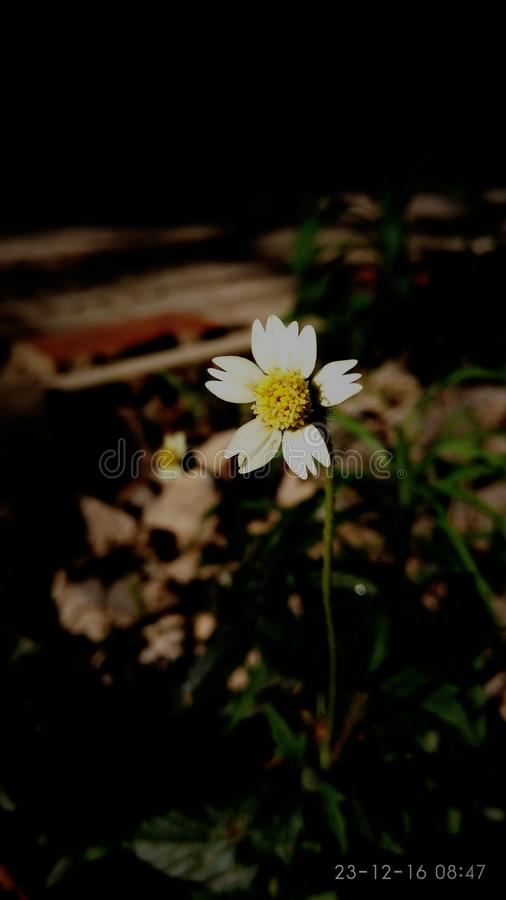 Flower. Closeup white and yellow mobile click single royalty free stock photos