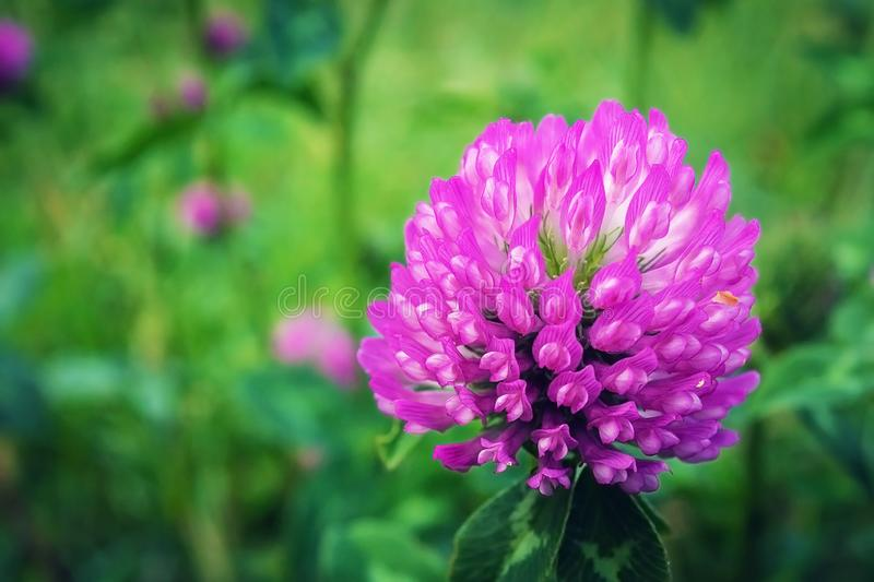 Flower of the clover. Beautiful clover stock images