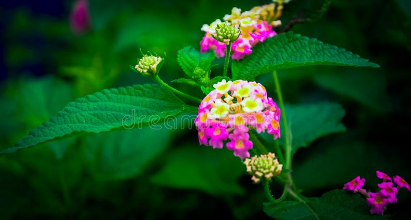 Flower with colours ,Glamuor colour of flower. Picture was taking at exactly 4pm . standing peters of the flower still subbing the sun royalty free stock photography