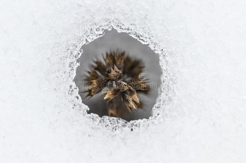 Flower coming out from real snow. Little flower coming out from real snow royalty free stock image