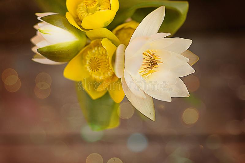 A bouquet of white lotuses and yellow water lilies on a wooden background in the sun with highlights and bokeh. Flower composition. A bouquet of white lotuses royalty free stock photos