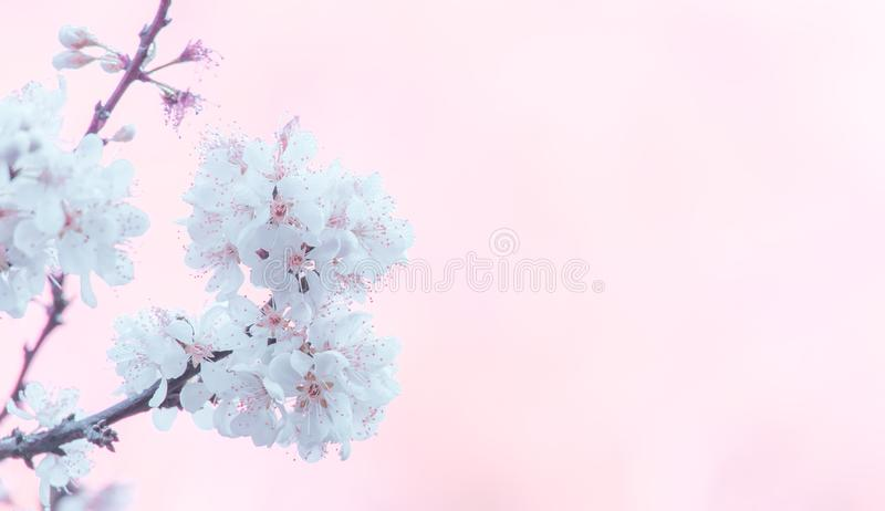 Flower and copy space for text of spring white cherry blossoms tree. stock photography