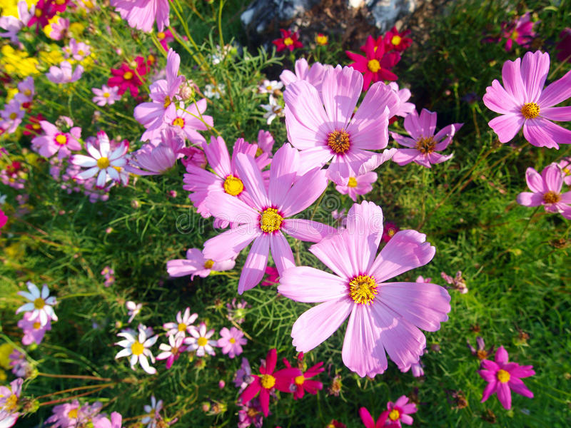 Download Flower of cosmos stock image. Image of petal, grass, color - 23483267
