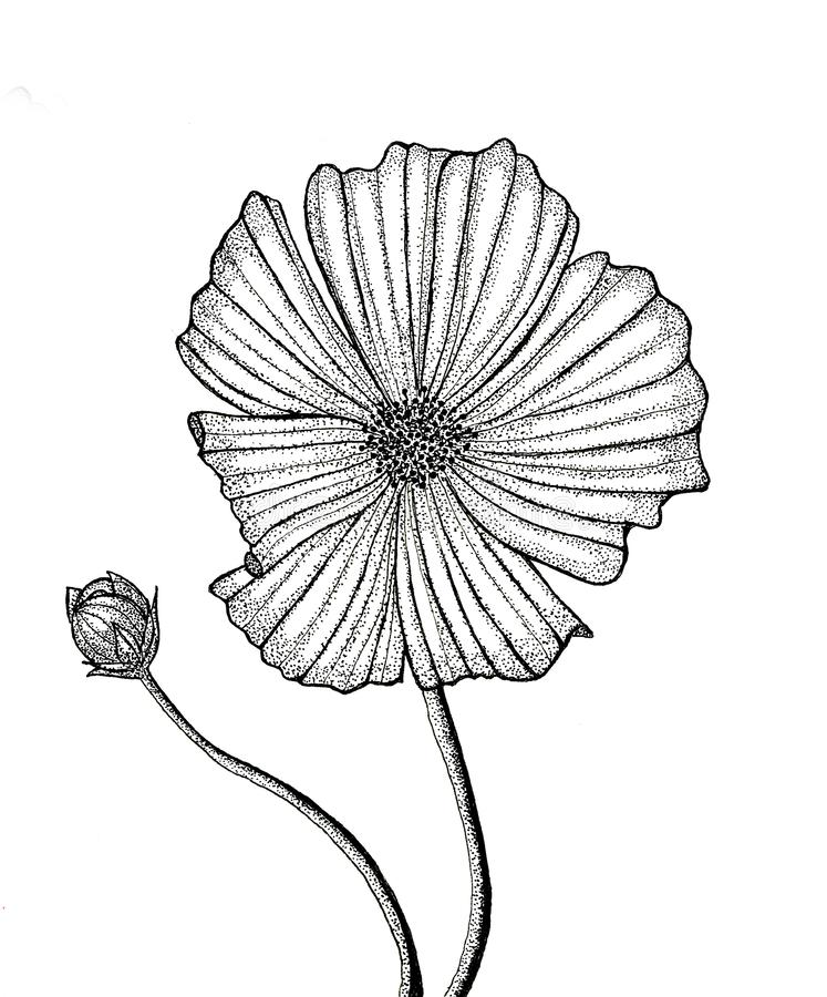 Flower cosmos bud illustration hand drawn black and white isolated on white background vector illustration