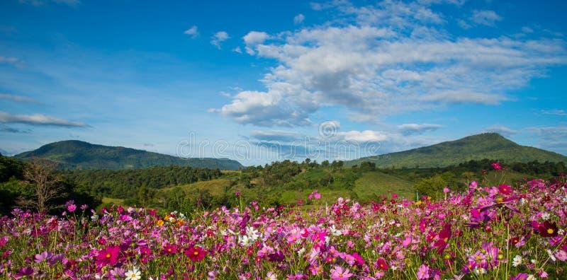 Flower Cosmos Garden. Flower beautiful Cosmos Garden on Mountain background stock image