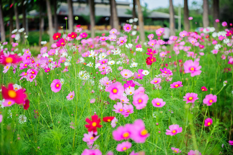 Flower Cosmos. Surge beautiful In Thailand stock images