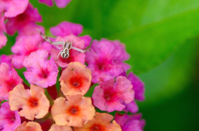 Flower Crab Spider royalty free stock photo