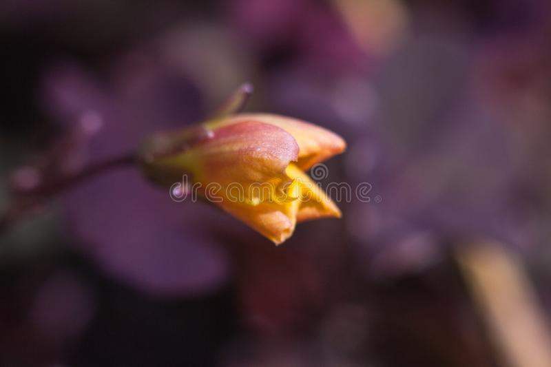 Flower of a Creeping Woodsorrel stock image