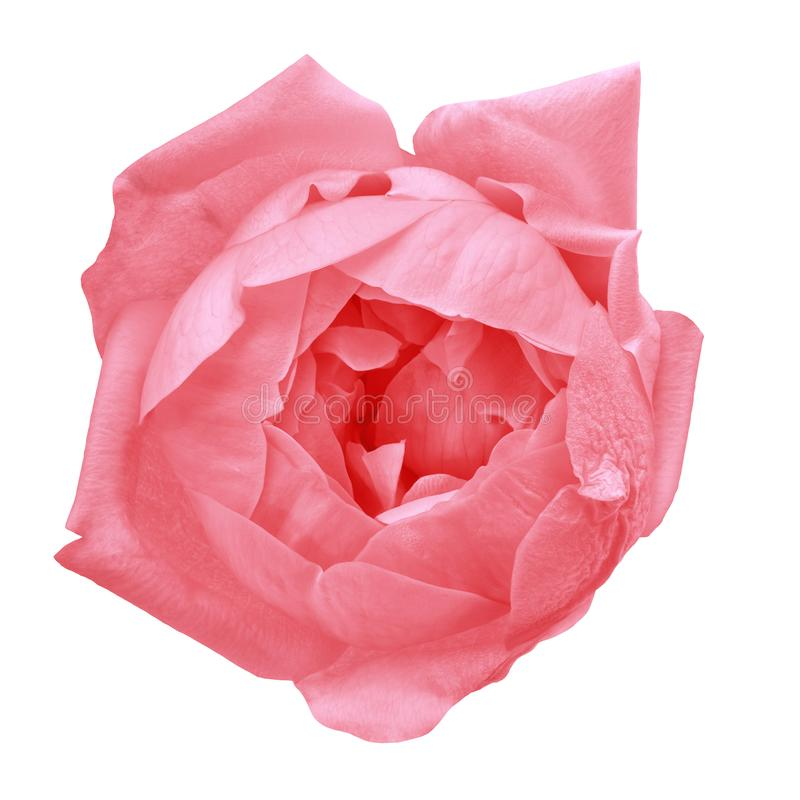 Flower crimson red rose isolated on white background. Close-up. Nature stock photos