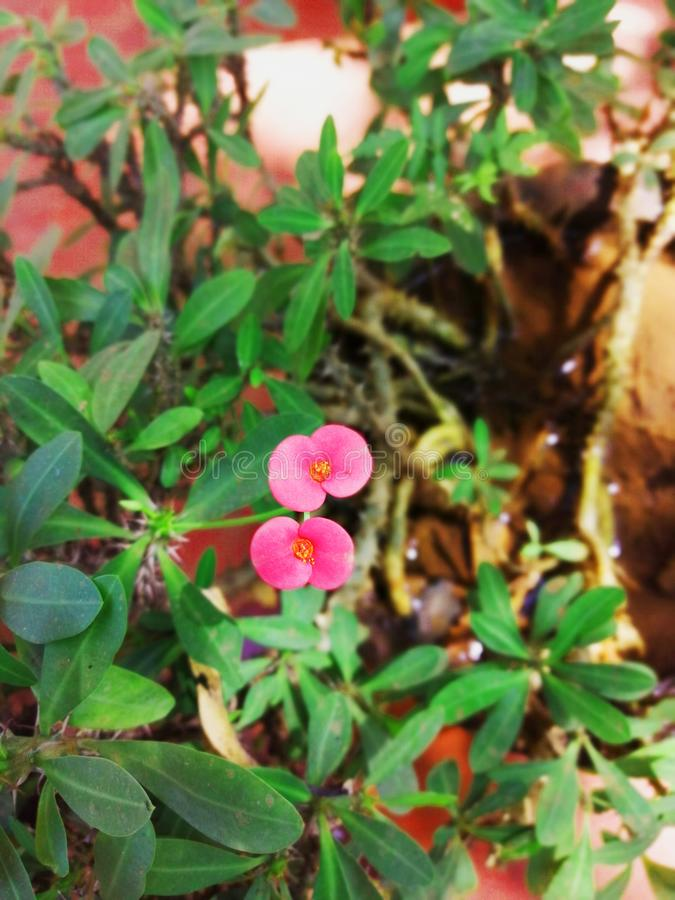 The flower of crown of thorns royalty free stock images