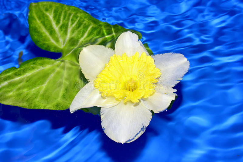 Download Flower Of Daffodil . Royalty Free Stock Image - Image: 11346386