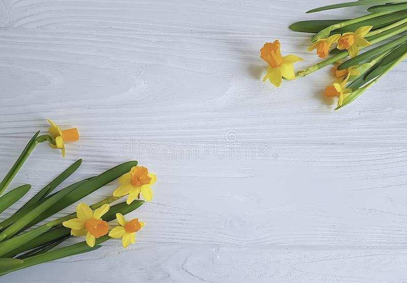 Flower daffodil on white wooden background. Springtime royalty free stock photography