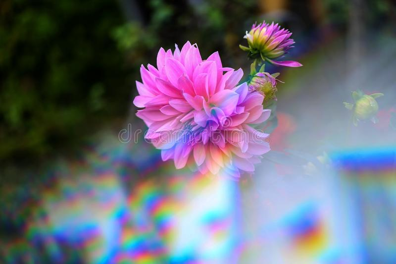 The flower of dahlias through the triangular prism.  royalty free stock images