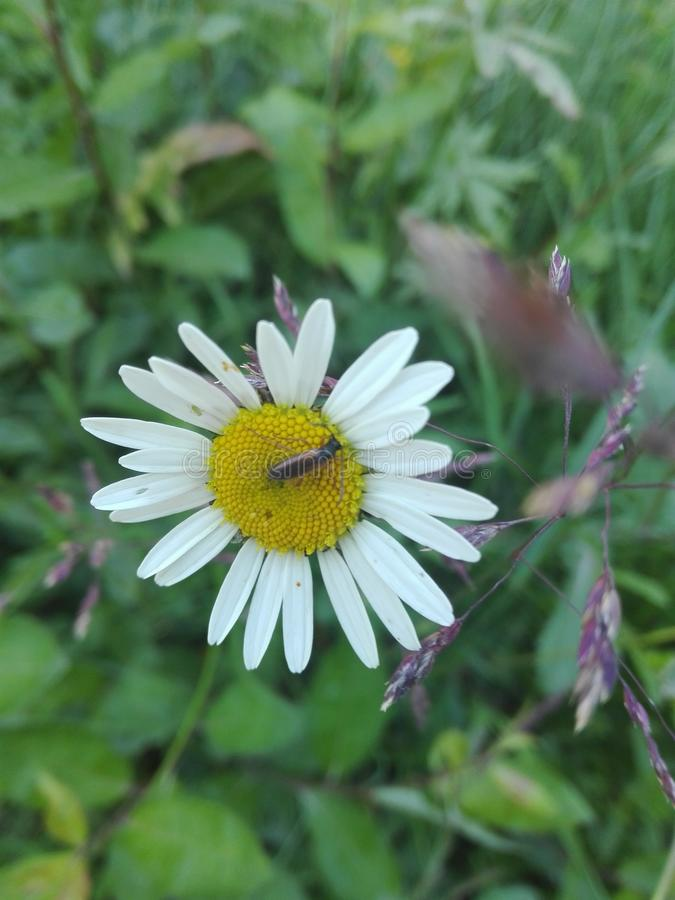 Flower daisy and insect garden animals. Daisy flowers and insect grash royalty free stock photo