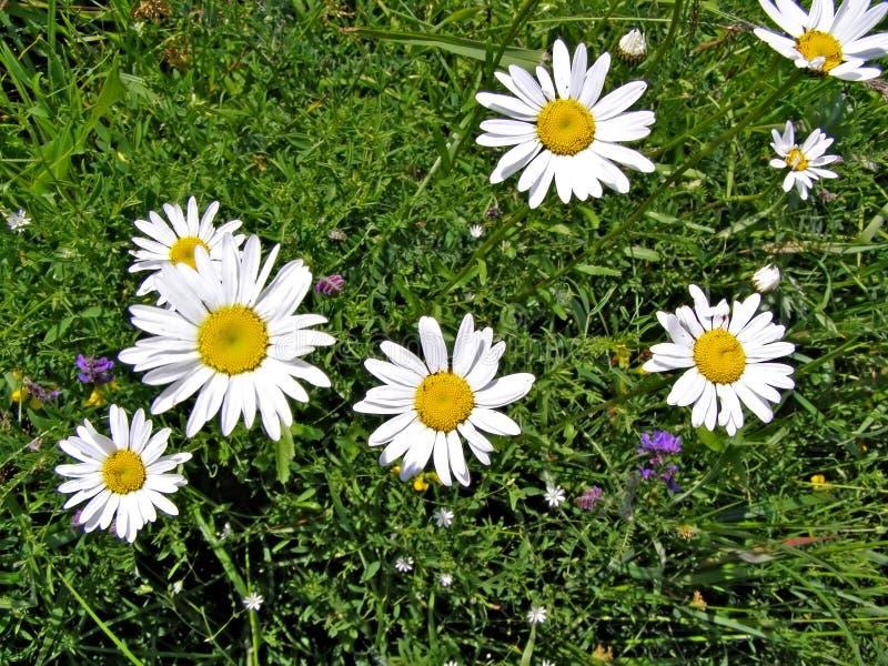 Flower of the daisywheel stock image