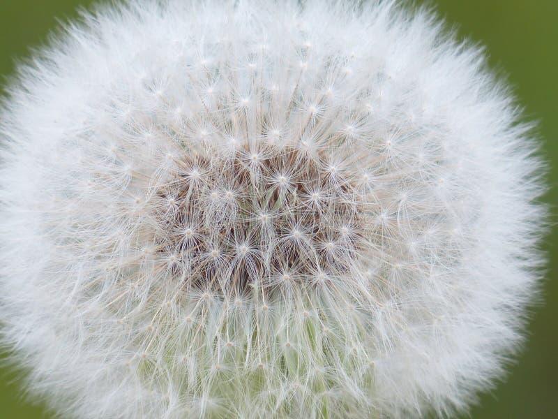 Flower, Dandelion, Plant, Flora royalty free stock photography