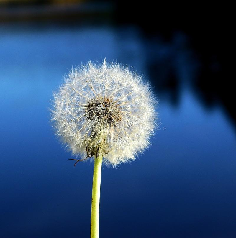 Sky, Dandelion, Flower, Close Up Picture. Image: 123314509
