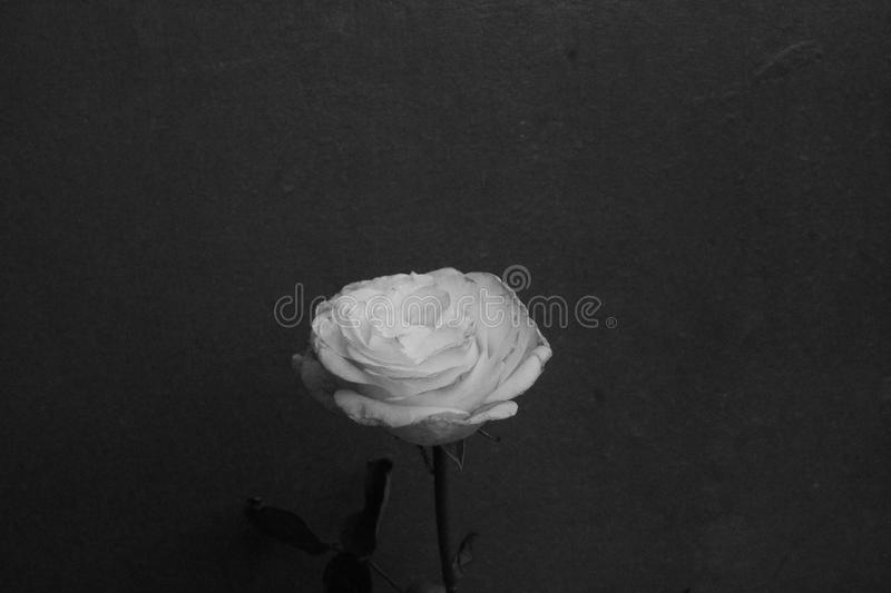 Flower in the dark. Size: 3,7 MB, Resolution: 4272×2848, Model: canon EOS 1100D, Focal length: 25,00 mm, Lighting time: 1/3200, Edit: Vscocam, dark, black royalty free stock photography