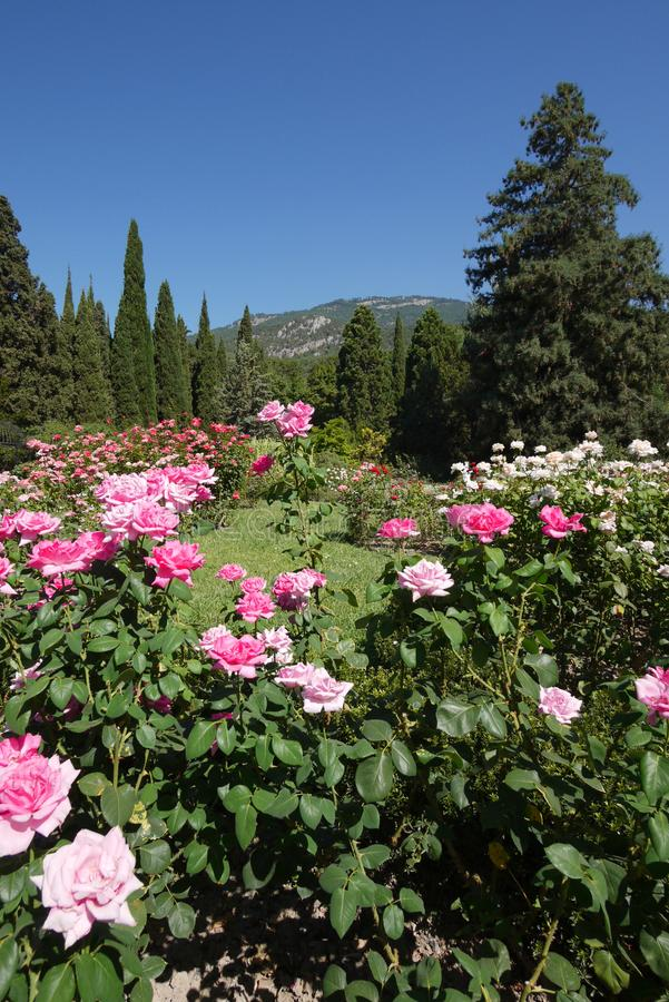 The flower is densely planted with white and pink rose bushes in the botanical garden. stock image