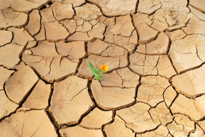 Flower in desert. Young plant in the dry cracked desert stock image
