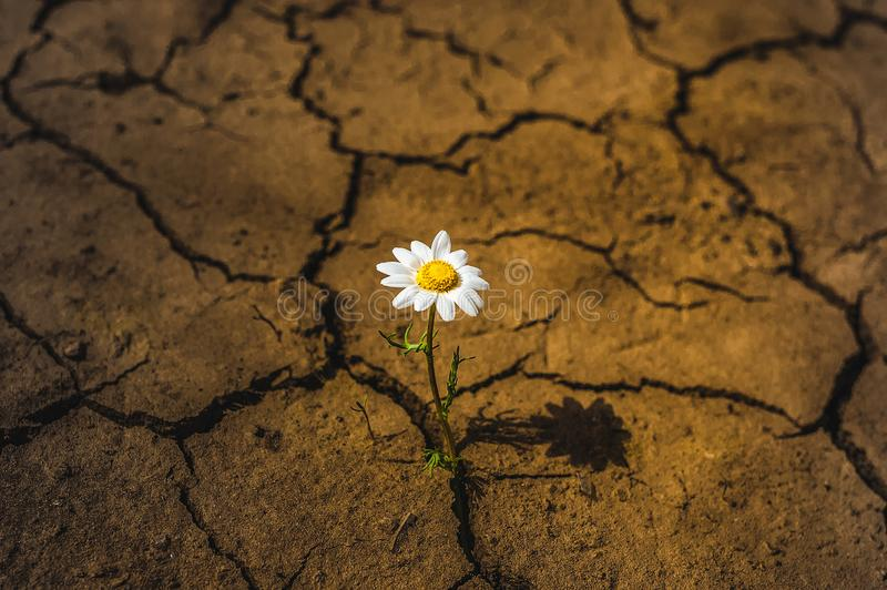 Flower dry land daisy in the desert royalty free stock images