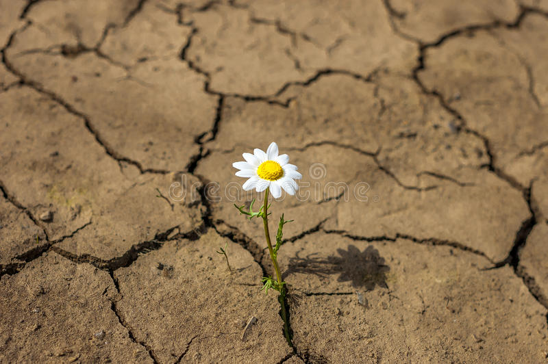 Flower in the desert is dry land daisy. royalty free stock images
