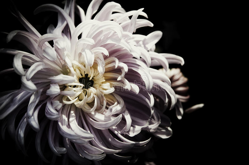Flower design black Vintage beautiful flowers made with color f royalty free stock images