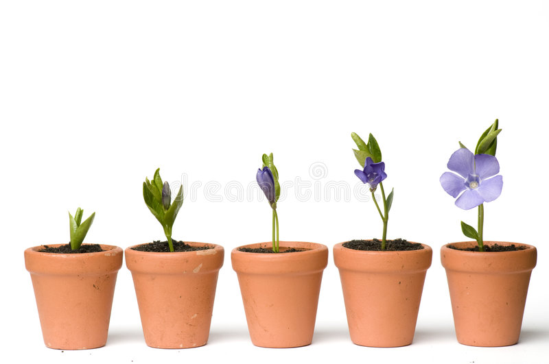 Flower development royalty free stock images