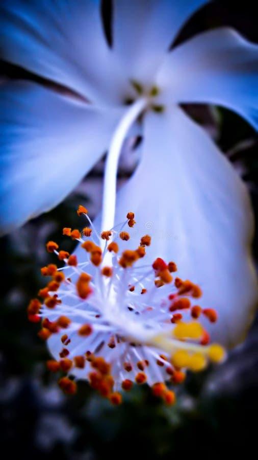 Flower di Hibiscus bianco nelle riprese di macro fotografia stock
