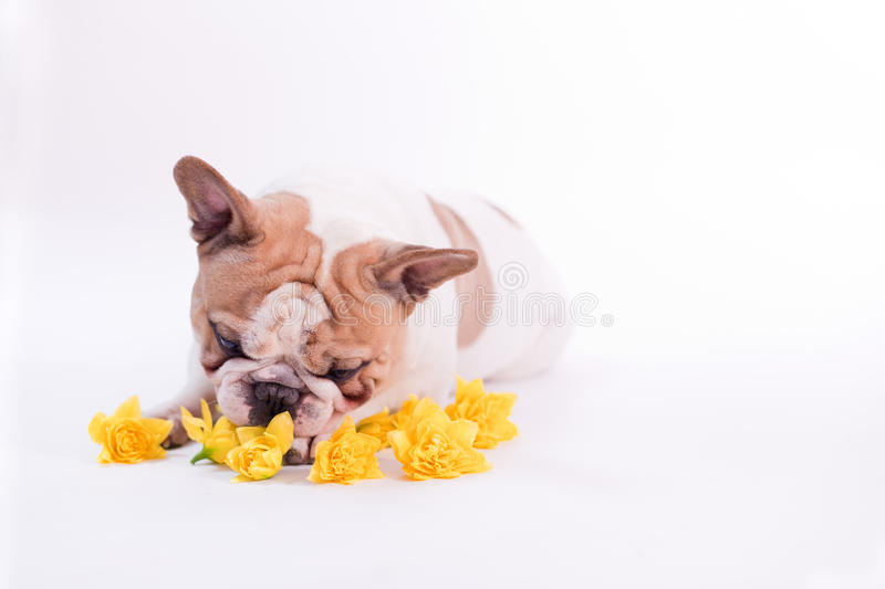 Flower Dog 1 royalty free stock photography
