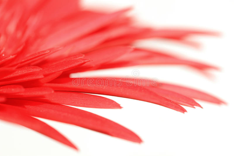 Flower dream. Beautiful shot of red colored flower petals over white background royalty free stock image