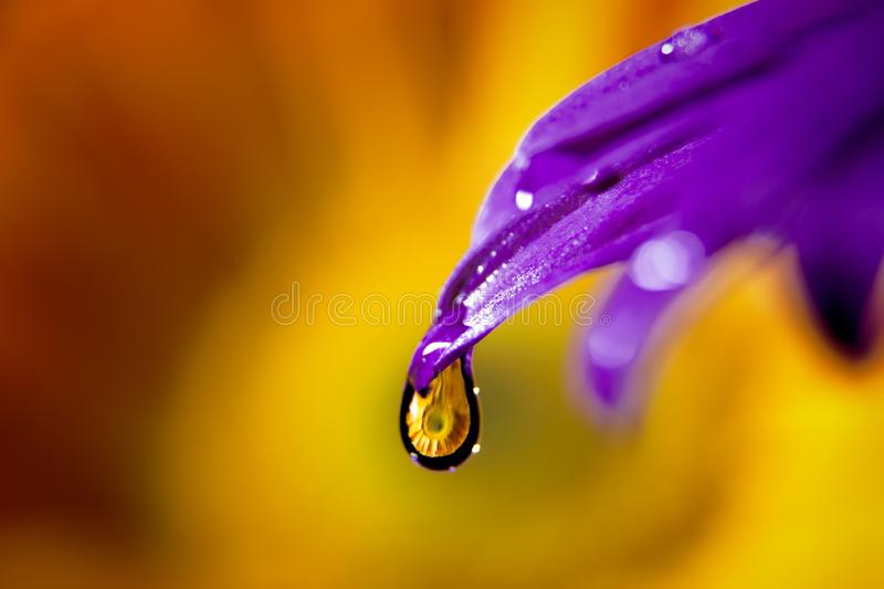 Flower in a drop of water. Purple flower with a drop of water with yellow flower inside of it stock photos
