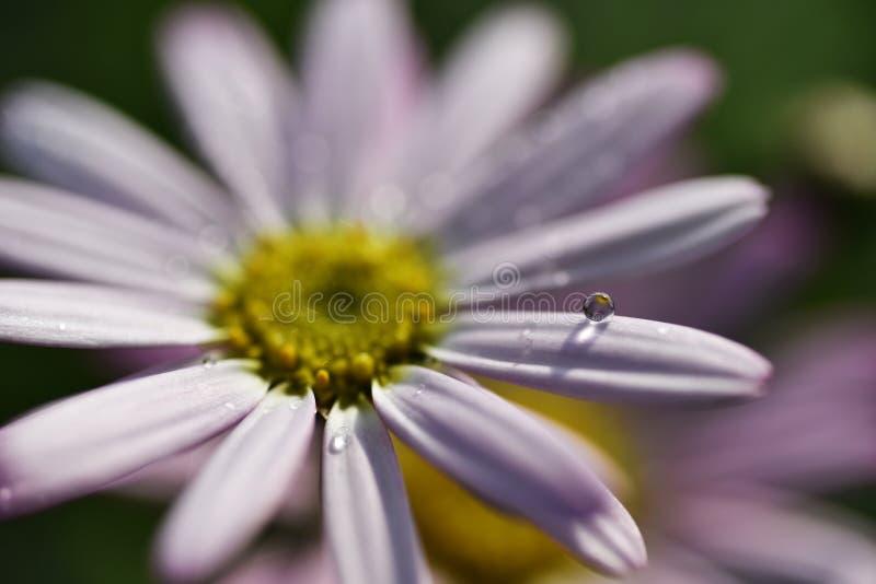 Flower droplet Stock Photography: Pink Gerber Flower stock images