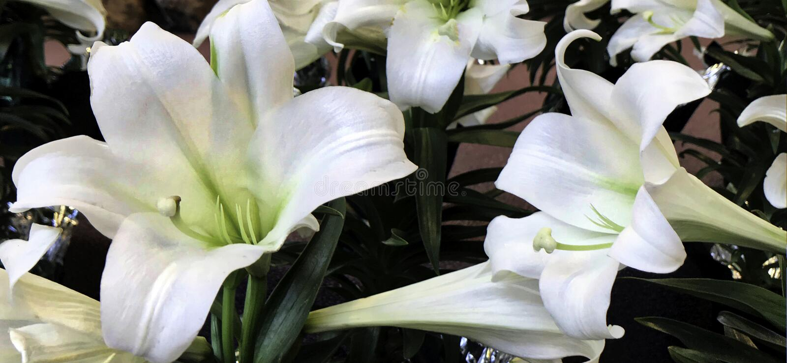 Flower, Easter Lilly, White, from both Taiwan and Ryukyu Islands royalty free stock photos