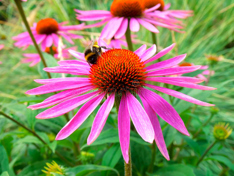 Download Flower, Echinacea stock photo. Image of nature, weed - 18185626