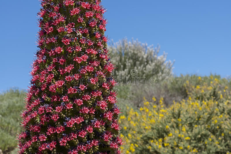Flower Echium wildpretii, Tajinaste royalty free stock images
