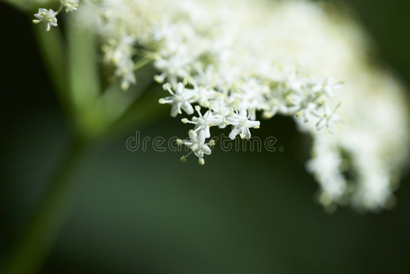 Flower of elder tree. Flowers of elder tree on a blurred background royalty free stock image
