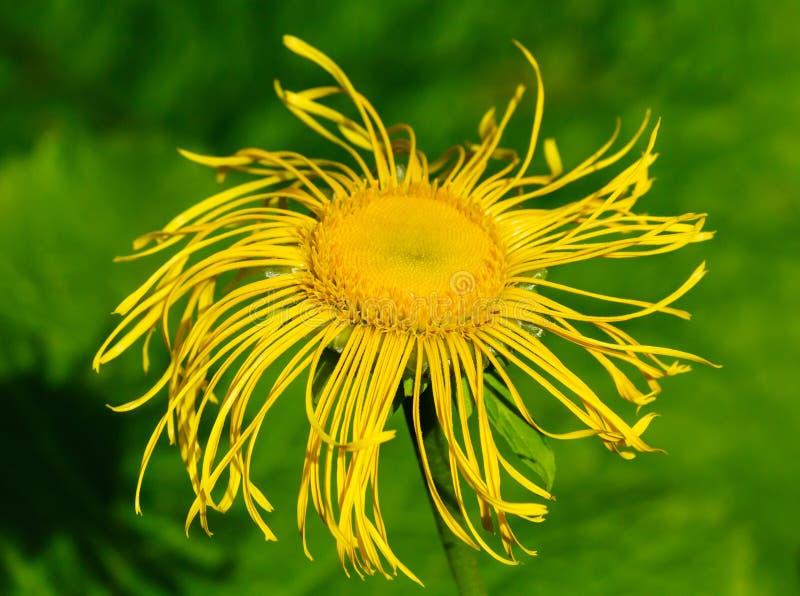 Flower elecampane stock image