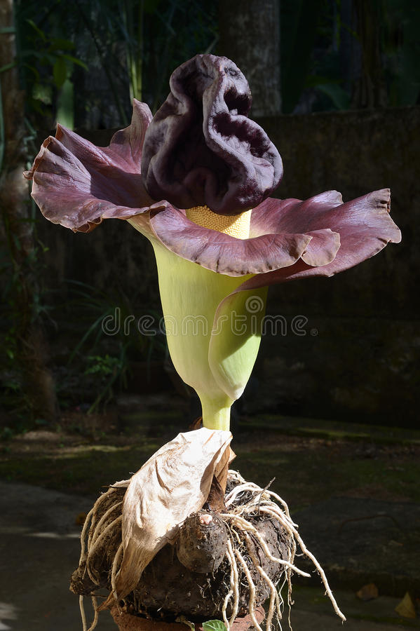 Free Flower-elephant Foot Yam Royalty Free Stock Images - 48324309