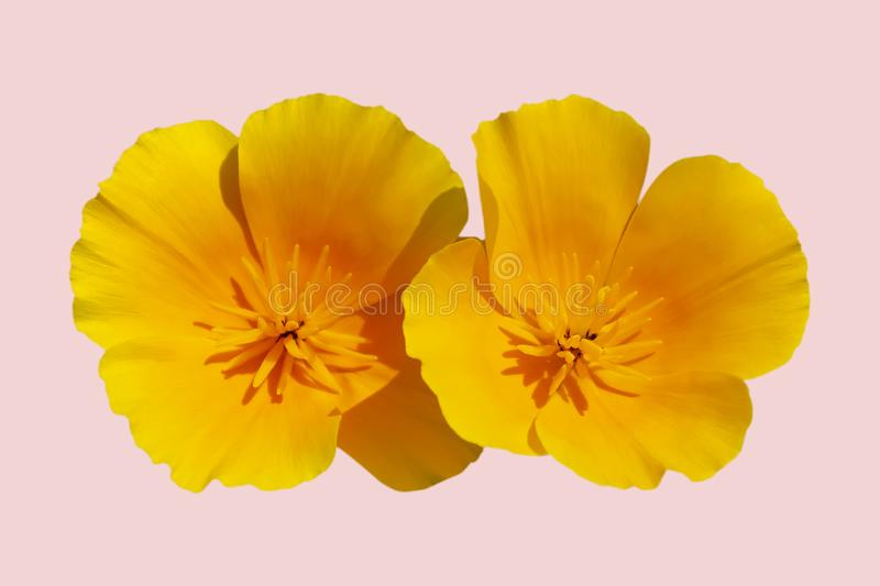 Flower Eschscholzia californica California poppy, golden poppy, California sunlight, cup of gold isolated on pink background stock images