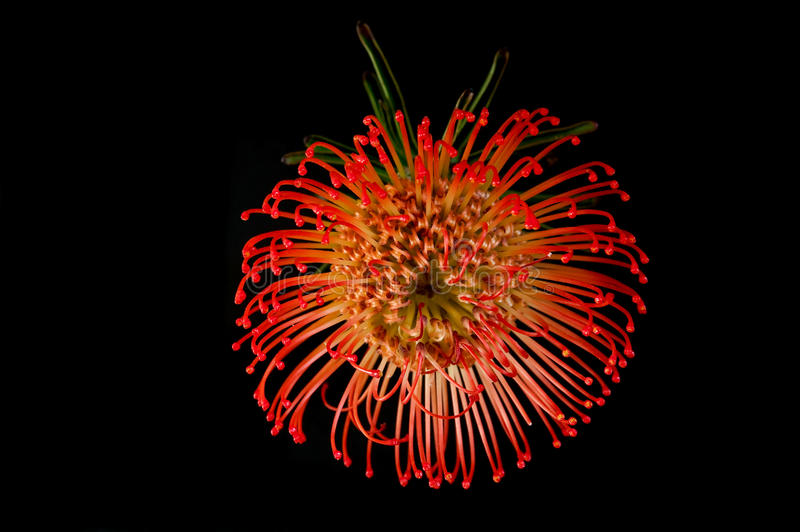 Flower exotic red bloom. Against black royalty free stock photo