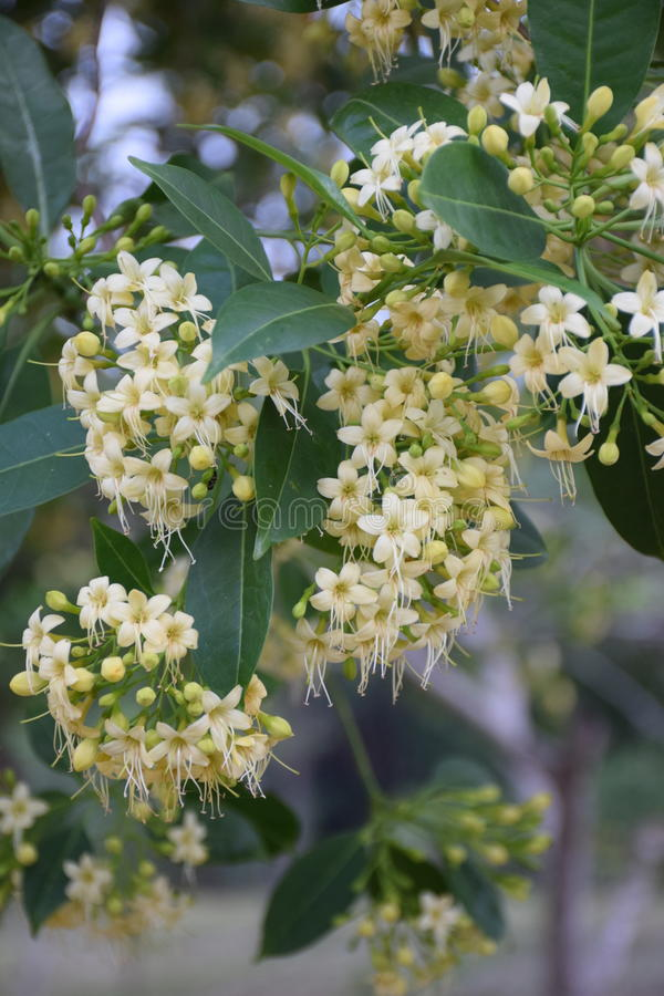 Flower. The flower of Fagraea fragrans Roxb. Usually found in Southeast Asia. Blooming on summer stock photos