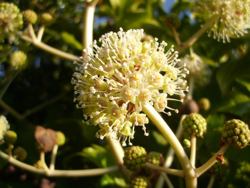 Flower of the Fatsia Japonica in Full Bloom. Bloom in full flower of a fatsia japonica, which is also known as the paperplant, false castor oil plant, and royalty free stock photos