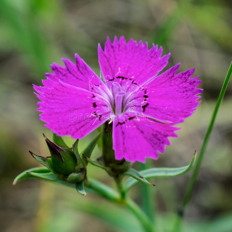 Flower field carnation. Small pink flower field carnation royalty free stock images