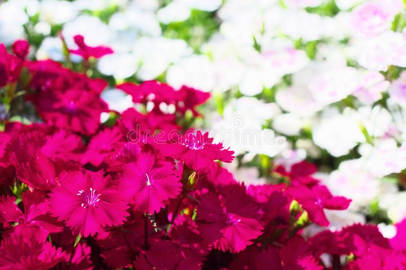 Flower field of dianthus telstar. Magenta color and white color royalty free stock photography